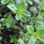 macierzanka liście