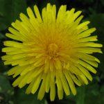mniszek kwiat