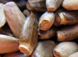 nasiona ostropestu - powiększenie